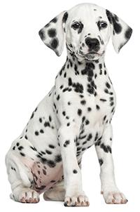 Quali sono le funzioni del pancreas nel cane?