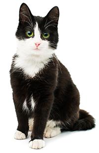 Quali sono le funzioni del fegato nei gatti?