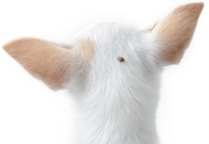 Prevenire le infestazioni delle zecche sui cani