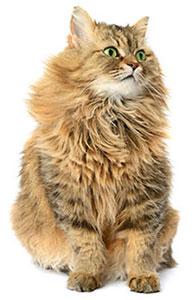 Sistema immunitario del gatto
