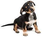Le difese immunitarie del cane