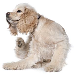Come sapere se il proprio cane ha le pulci?