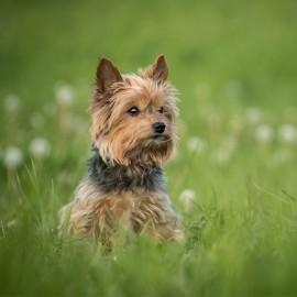Come Combattere la Tenia nei Cani | Informazioni e Consigli | Animigo