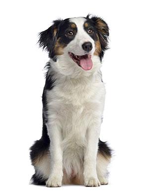 Perché utilizzare un detergente per le orecchie dei cani?