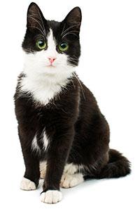 Cos'è l'artrite nei gatti?