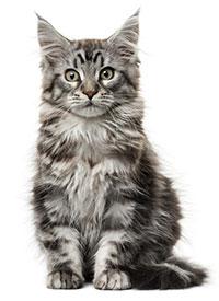 Sintomi dell'artrite nei gatti