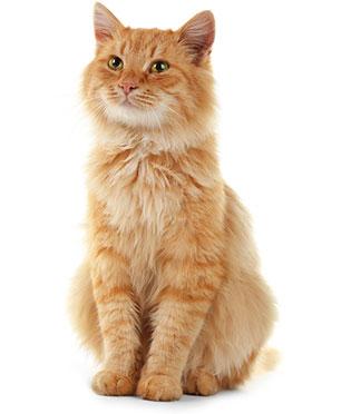 Sintomi dei disturbi digestivi nei gatti