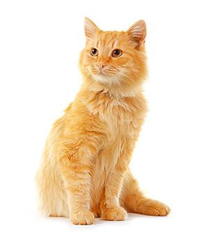 Perchè utilizzare un detergente per la pulizia delle orecchie di gatti?