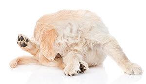 Allergie canine della pelle