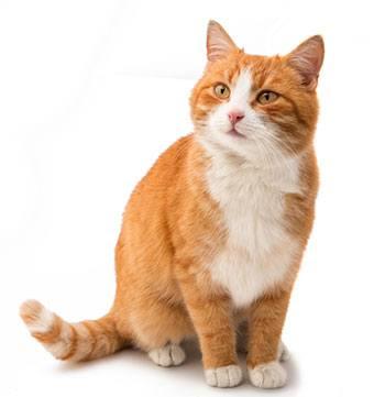 Ipertiroidismo dei gatti
