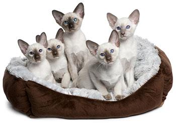Come prevenire la tenia nei gatti