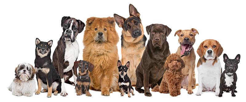 Come scegliere la razza di cane più calma?