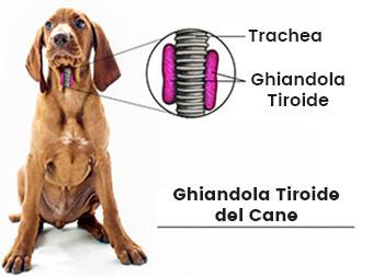 Cos'è la tiroide?